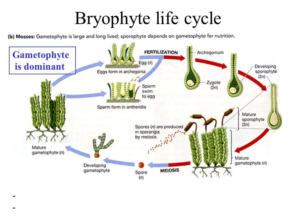 life cycle of a labeled moss diagram deer skeleton gymnosperms: evolution the seed - ppt video online download