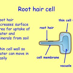 Plant Root Hair Diagram 1992 Toyota Hilux Horn Wiring Multicellular Organisms - Ppt Video Online Download