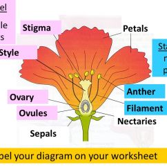 Parts Of A Flowering Plant Diagram Wiring For Hot Water Heater Thermostat Flower L O Understand The Structure And Function Label Your On Worksheet