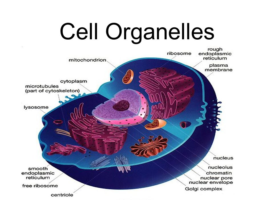 plant cell diagram vacuole ez go workhorse wiring organelles. - ppt video online download