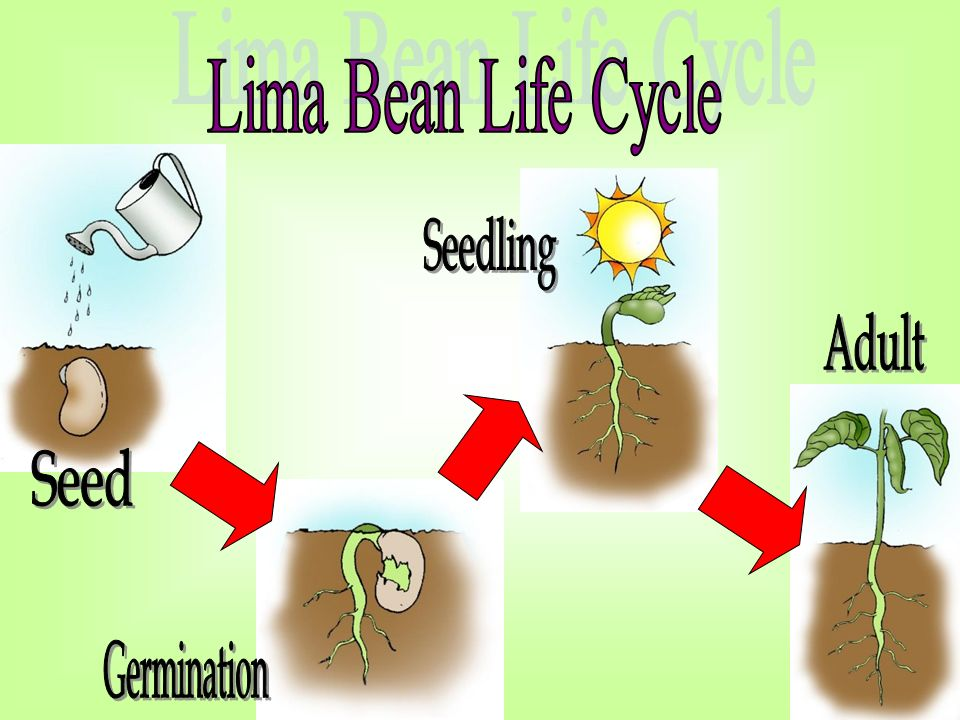 lima bean seed part diagram 2009 pontiac g8 gt radio wiring the life cycle of... plants. - ppt video online download
