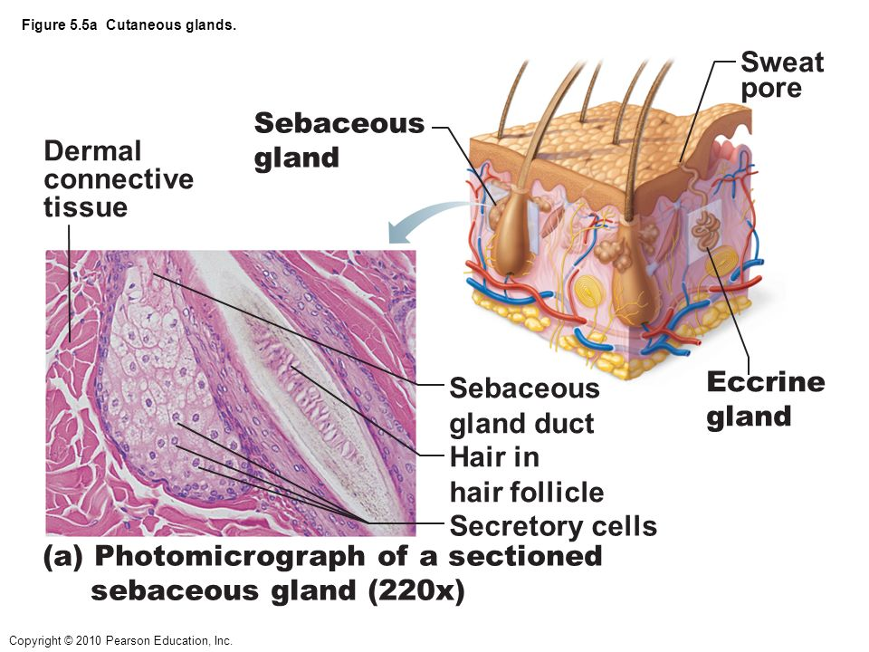 Adipose Connective Tissue Slide Labeled