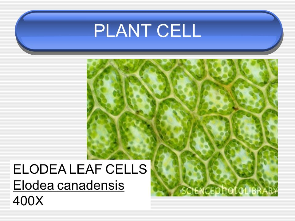 Stained Elodea Leaf Cell Diagram Labeled Diy Enthusiasts Wiring