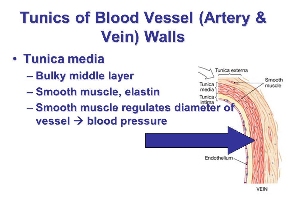 539d3fbc2b7 Anatomy Of Blood Vessels Ppt Video Online Download