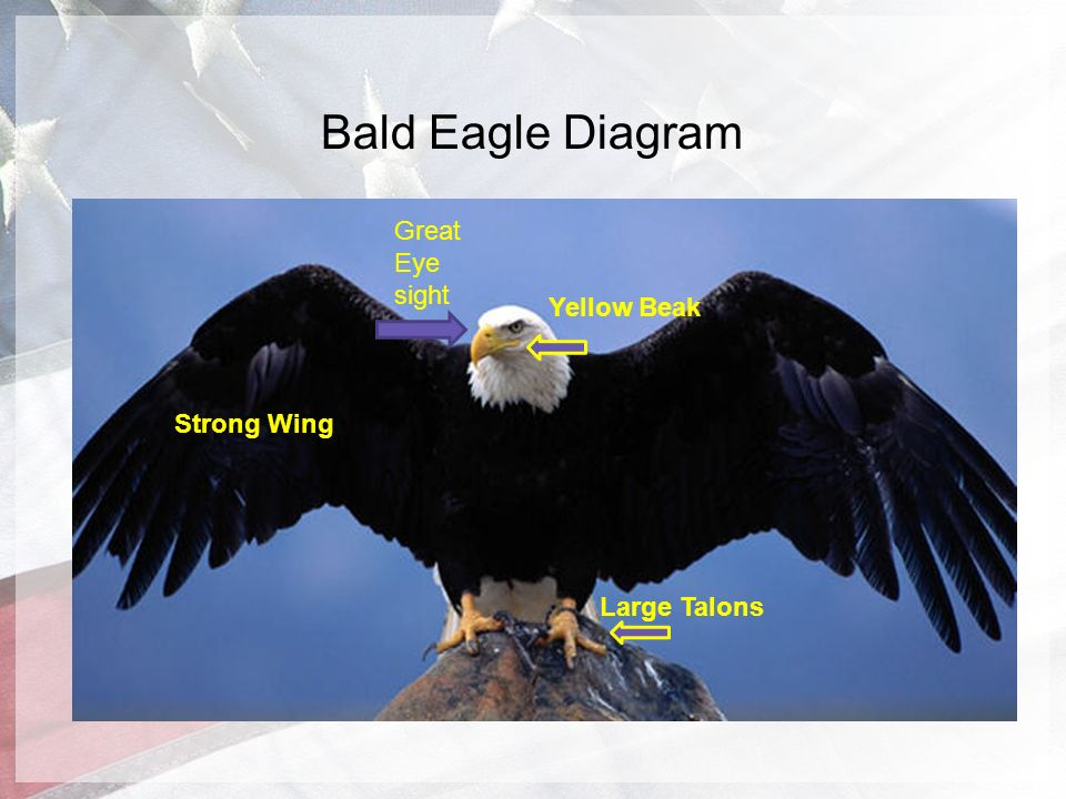 eagle wing diagram 125cc pit bike wiring bald g9 igesetze de the amazing by evan perona ppt video online download rh slideplayer com eye american