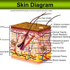 Dermis Layer Diagram 4 Channel Wiring Skin Hair Shaft Stratum Corneum Epidermis Basale