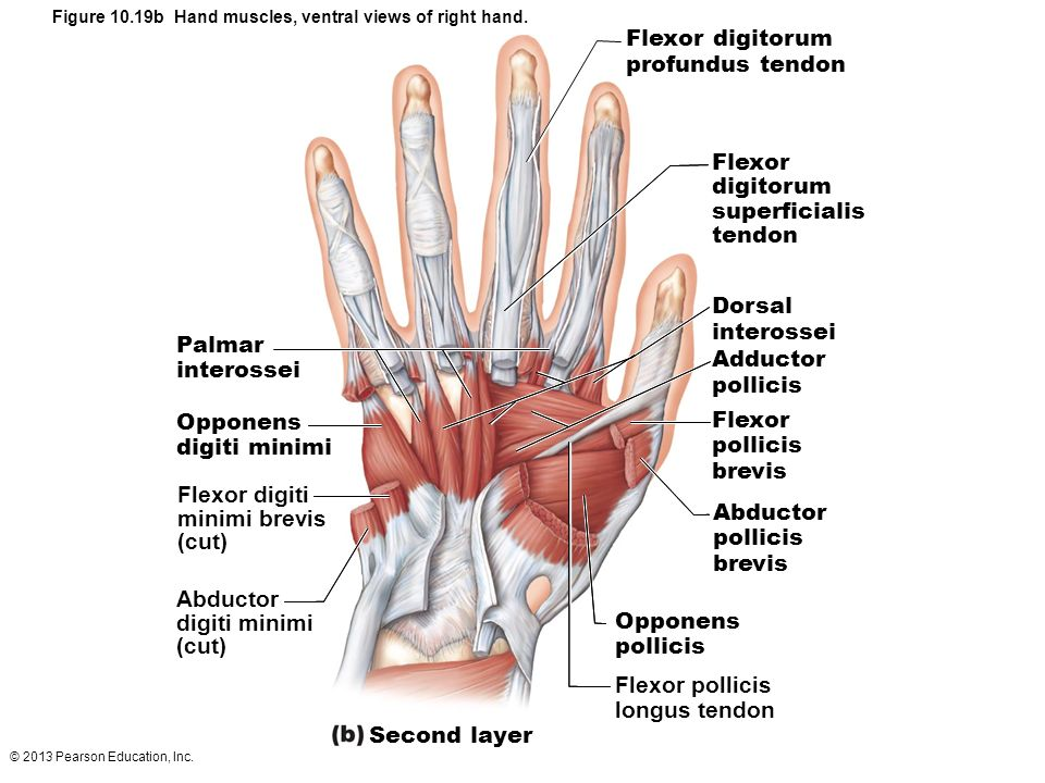 palmar hand muscle anatomy diagram honda lawn mower carburetor linkage the muscular system part c ppt download figure 10 19b muscles ventral views of right