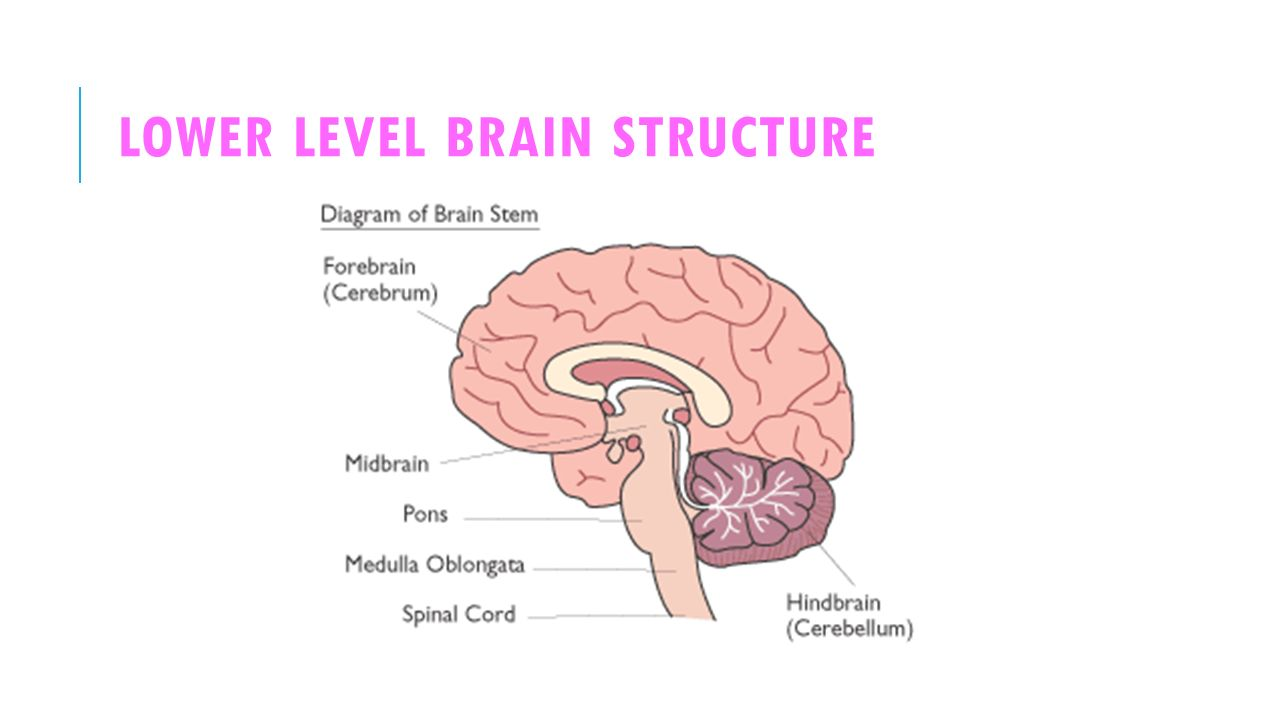 lower brain diagram 2000 honda civic exhaust neuroscience the ppt video online download 28 level structure