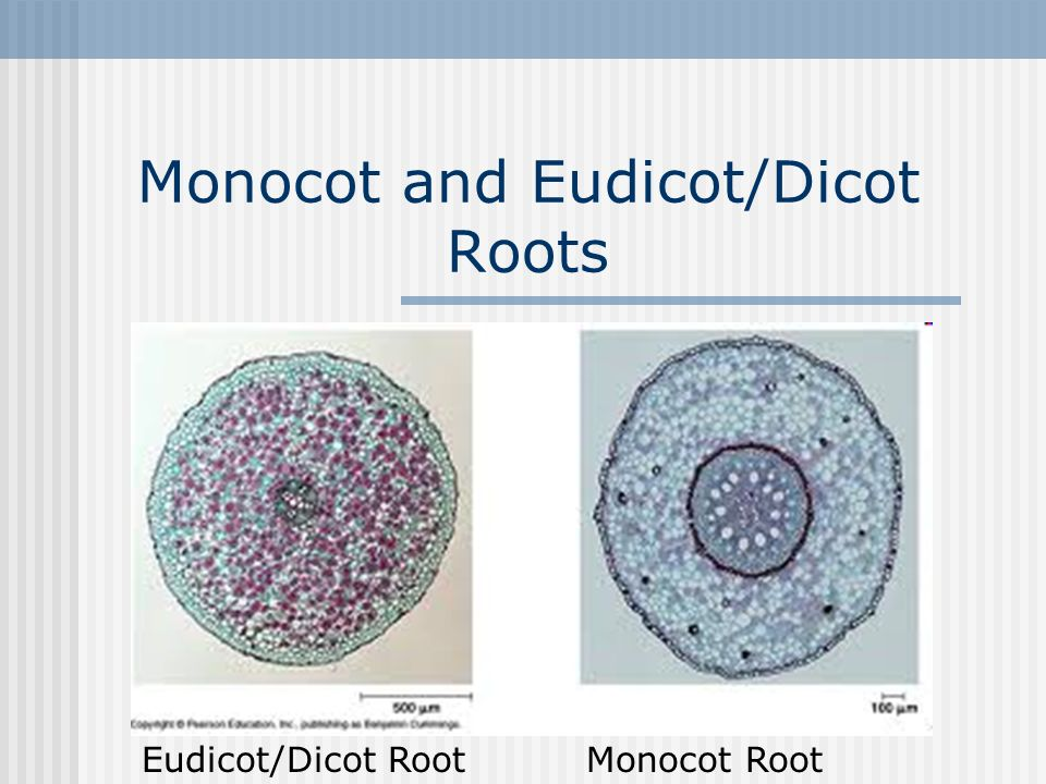 dicot root diagram chevy electronic ignition wiring monocot and eudicot roots ppt video online download