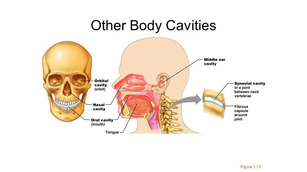 medium resolution of 76 other body cavities figure 1 13
