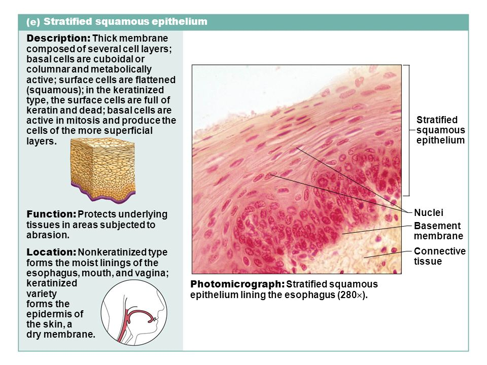 stratified columnar epithelium diagram hampton by hilton dortmund phoenix see classification of tissues histology ppt video online download squamous