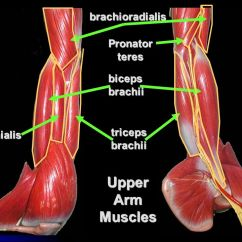 Upper Arm Muscles Diagram L14 30p Wiring Shoulder Girdle And Limb Ppt Video Online Download 3