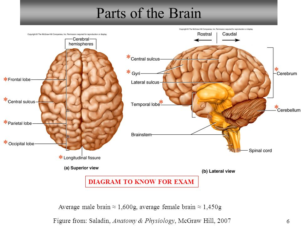 human brain diagram cerebrum dc motor wiring 2 wire neuron/spinal cord histology anatomy ear & eye - ppt download