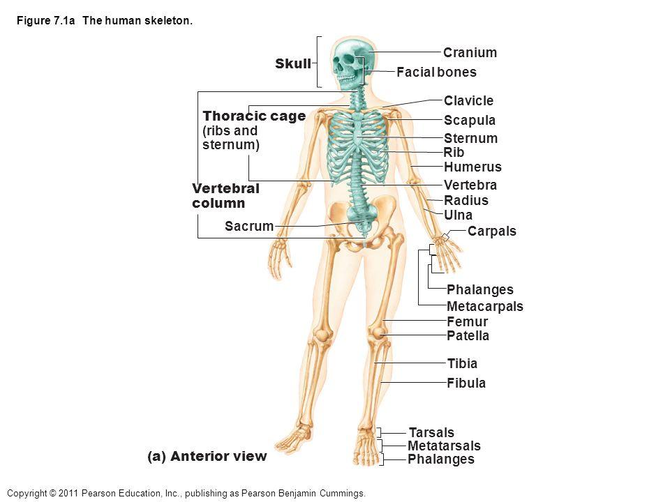 diagram of skeletal ribs rgb led strip wiring figure 7 1a the human skeleton ppt video online download