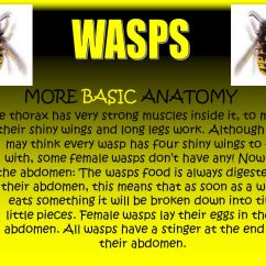 Hornet Anatomy Diagram 2006 Pontiac G6 Headlight Wiring Wasps By Sabrina Romina Ppt Video Online Download Basic Picture More
