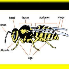 Hornet Anatomy Diagram 2004 Dodge Neon Alternator Wiring Wasps By Sabrina Romina Ppt Video Online Download 4 Basic
