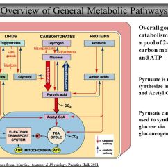 Adp Molecule Diagram Labeled Nissan Tiida Stereo Wiring Nutrient Catabolism Labeling - Best Secret