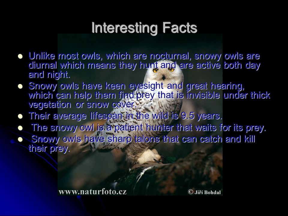 snowy owl adaptations diagram redarc bcdc charger wiring jessica wu michelle lai james ung nicole taha ppt video online interesting facts unlike most owls which are nocturnal diurnal means