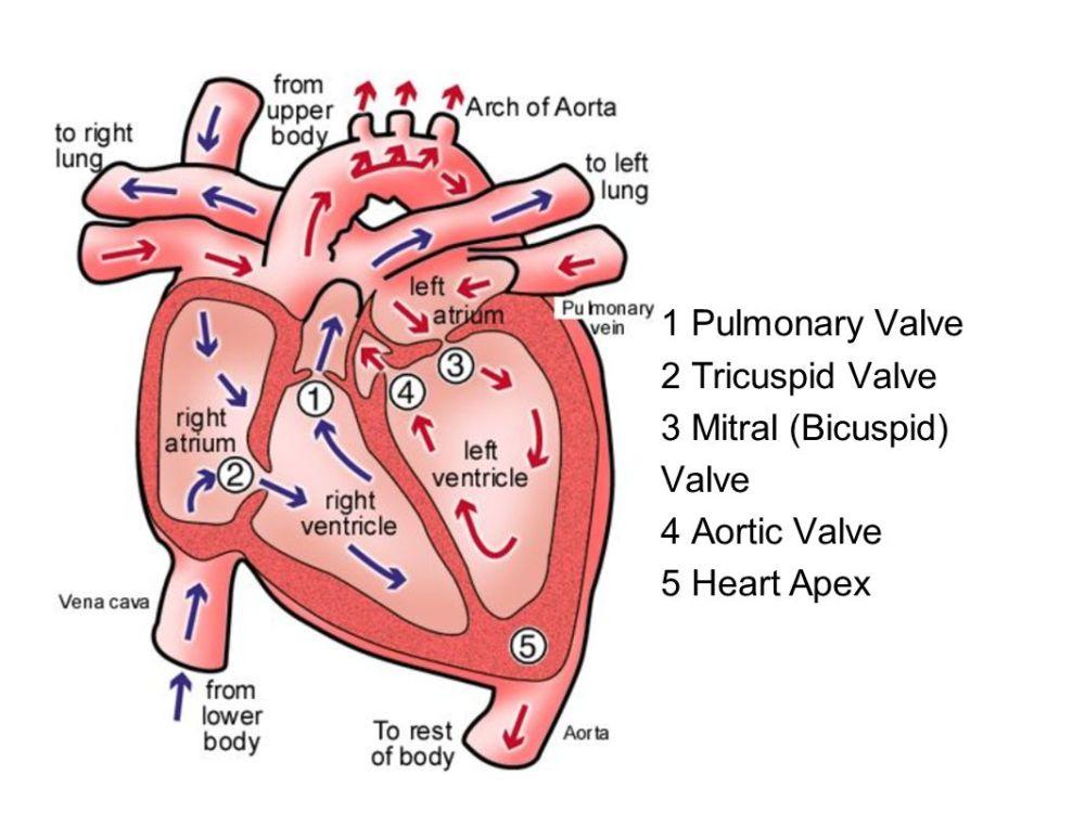 medium resolution of 16 1 pulmonary valve 2 tricuspid valve 3 mitral bicuspid valve 4 aortic valve 5 heart apex