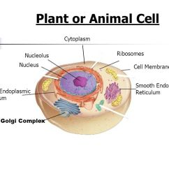Endoplasmic Reticulum Animal Cell Diagram 2005 Nissan Pathfinder Trailer Wiring Structures And Function Ppt Video Online Download 11 Plant Or