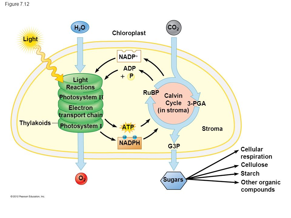 light reactions photosystem diagram the 12 volt wiring photosynthesis using to make food ppt download 85 calvin