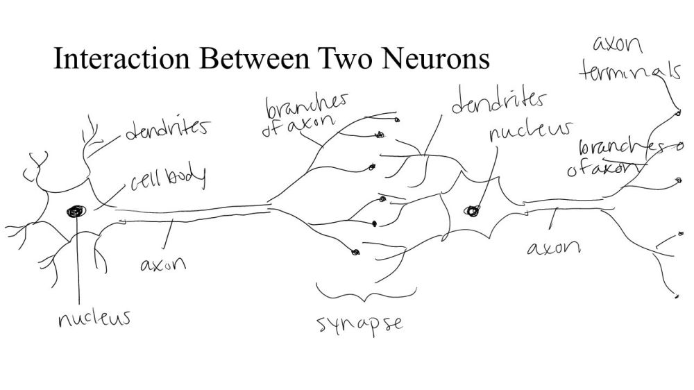 medium resolution of neuron diagram blank