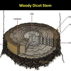 Dicot Stem Diagram Protein Synthesis With Labels Woody Wiring Block External Internal Structures Ppt Video Online Download Secondary Growth Plants In