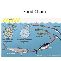 Great White Shark Food Chain Diagram Of Gothic Church Ppt Video Online Download 1