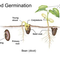 Parts Of A Flower Diagram For Kids Pioneer Deh P5900ib Wiring Formal Lab Report Seed Germination Lab. - Ppt Video Online Download