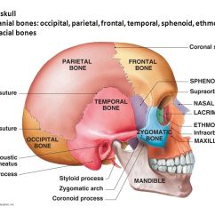 Axial Skeleton Skull Diagram Wiring For A Double Dimmer Switch Anatomy Ppt Video Online Download The 8 Cranial Bones Occipital Parietal Frontal Temporal Sphenoid
