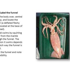 Labeled Squid External Anatomy Diagram Trailer Wiring 7 Pin 5 Wires 1 Label Ppt Video Online Download B The Funnel Turn Body Over Ventral Side Up