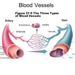 The Lung Anatomy Diagram Label 1995 Honda Civic Wiring Blood Vessels Figure 37-5 Three Types Of Vein Artery - Ppt Video Online Download