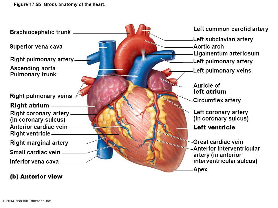 Great Cardiac Vein Location | Carbk.co