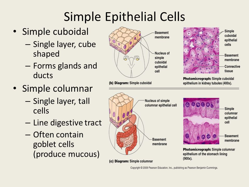 7 layers of skin diagram 2000 s10 speaker wiring cell tissues epithelial tissues. - ppt download