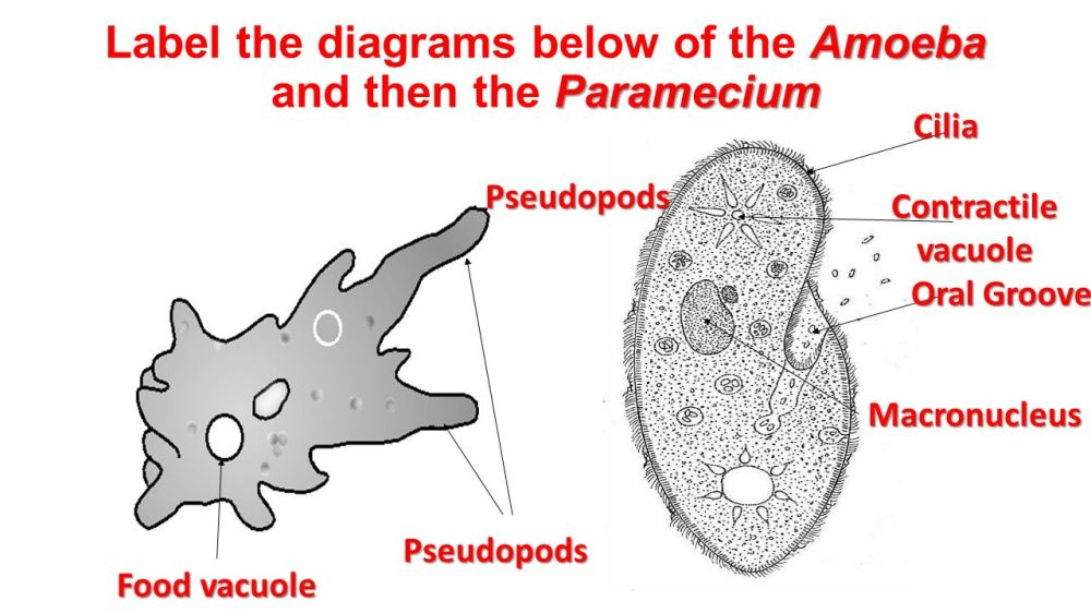 medium resolution of chapter 19 protists euglena volvox slime mold amoeba spirogyra diagram of euglena and paramecium