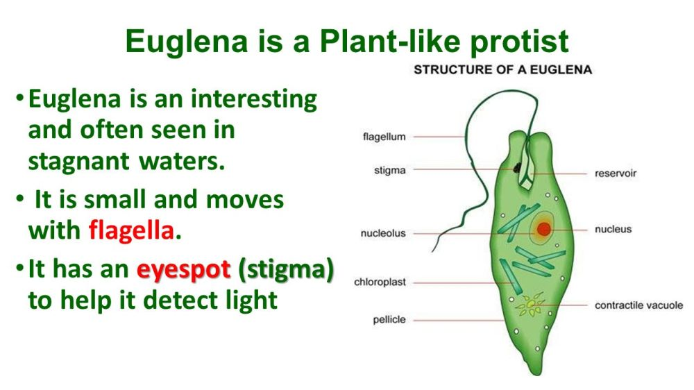 medium resolution of 8 euglena