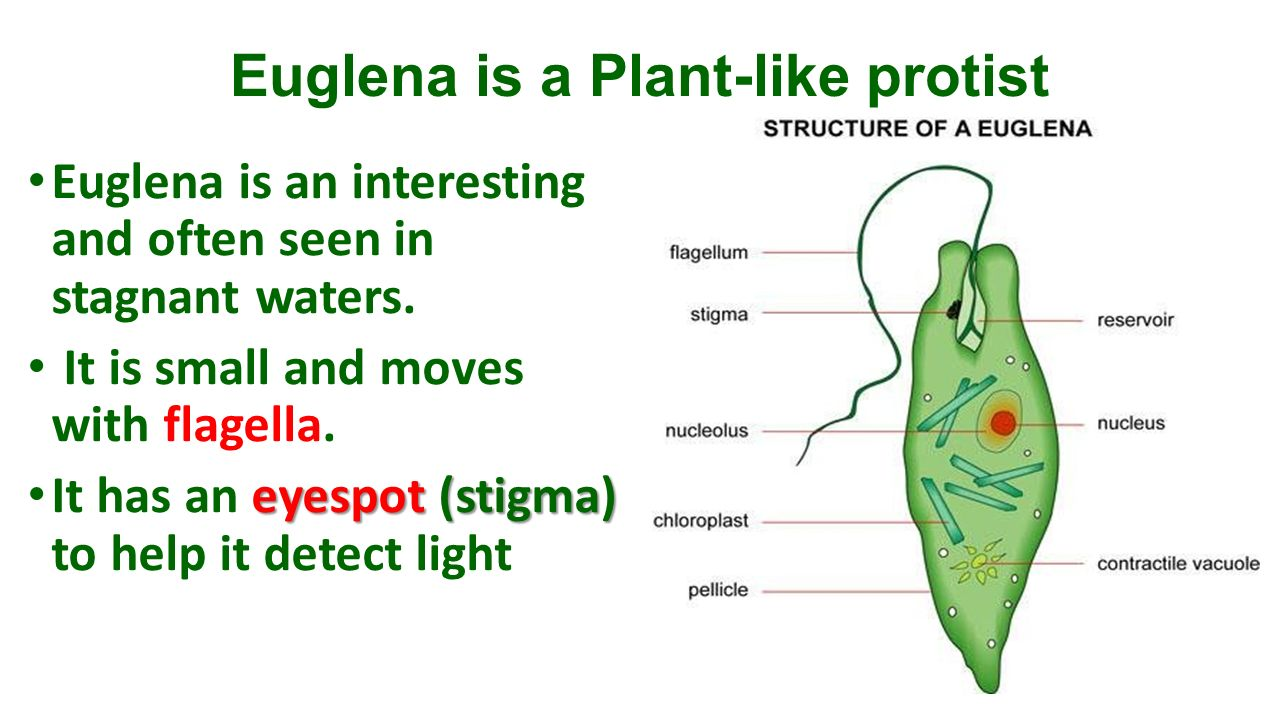 hight resolution of 8 euglena