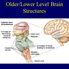 Lower Brain Diagram 6 Speaker Wiring Early Mapping Phrenology Ppt Video Online Download 2 Older Level Structures