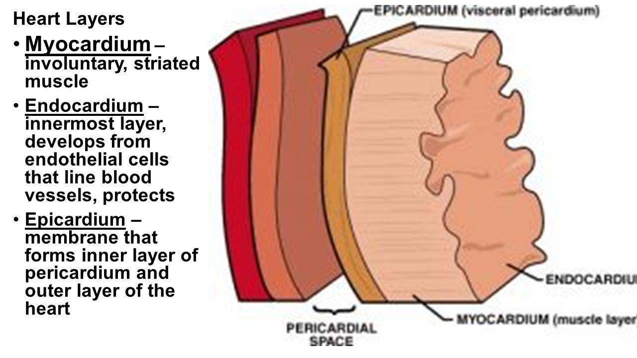 hight resolution of 3 myocardium involuntary