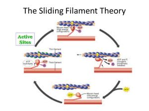 The Sliding Filament Theory  ppt video online download