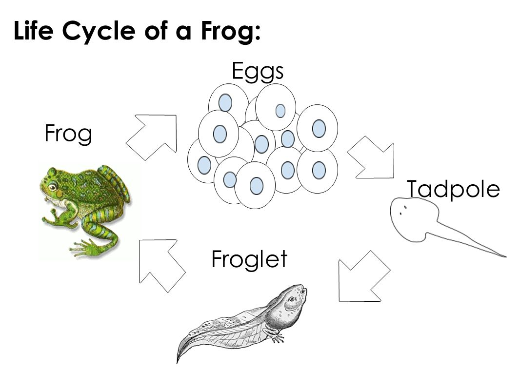 Life Cycles Lesson 7 Frogs