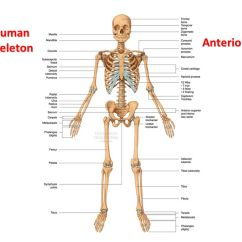 Rib Cage Bone Diagram Chinese Quad Wiring The Skeletal System: Labelling Bones - Ppt Video Online Download