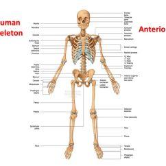 Rib Cage Bone Diagram Fender Telecaster Wiring Seymour Duncan The Skeletal System: Labelling Bones - Ppt Video Online Download