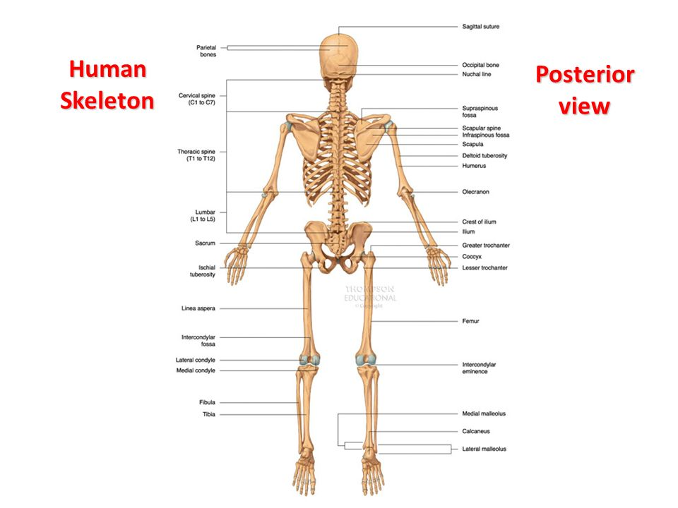 human mandible diagram wiring diagrams house circuits the skeletal system: labelling bones - ppt video online download