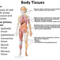 Digestive System Flow Chart Diagram Triangular Load Shear And Moment Body Tissues Groups Of Cells With Similar Structure Function Four Primary Types ...