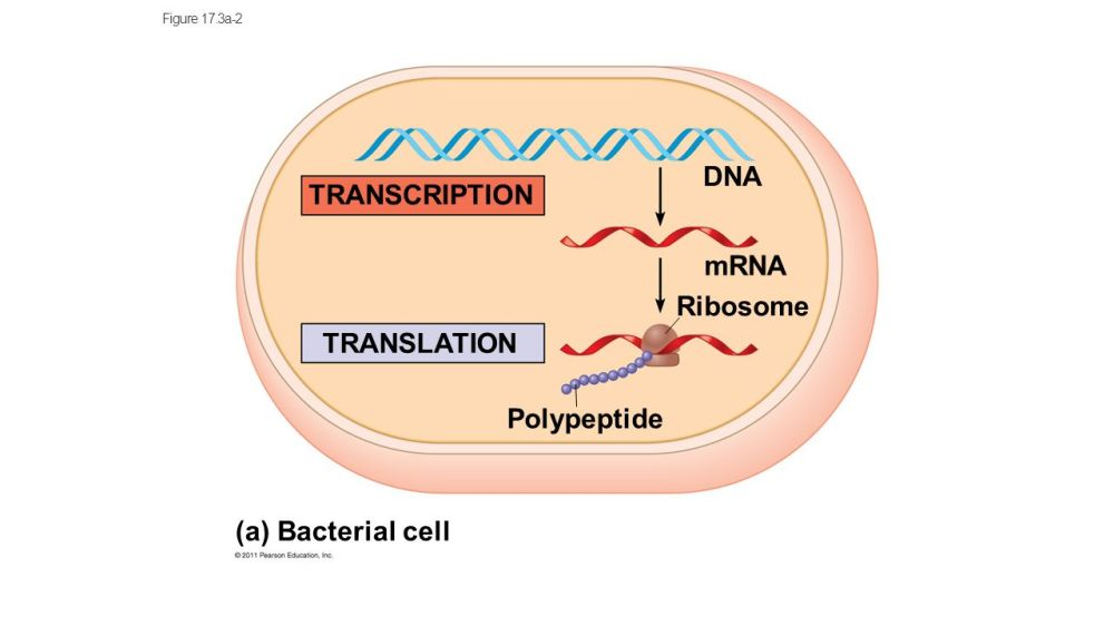 medium resolution of 9 dna transcription mrna ribosome translation polypeptide