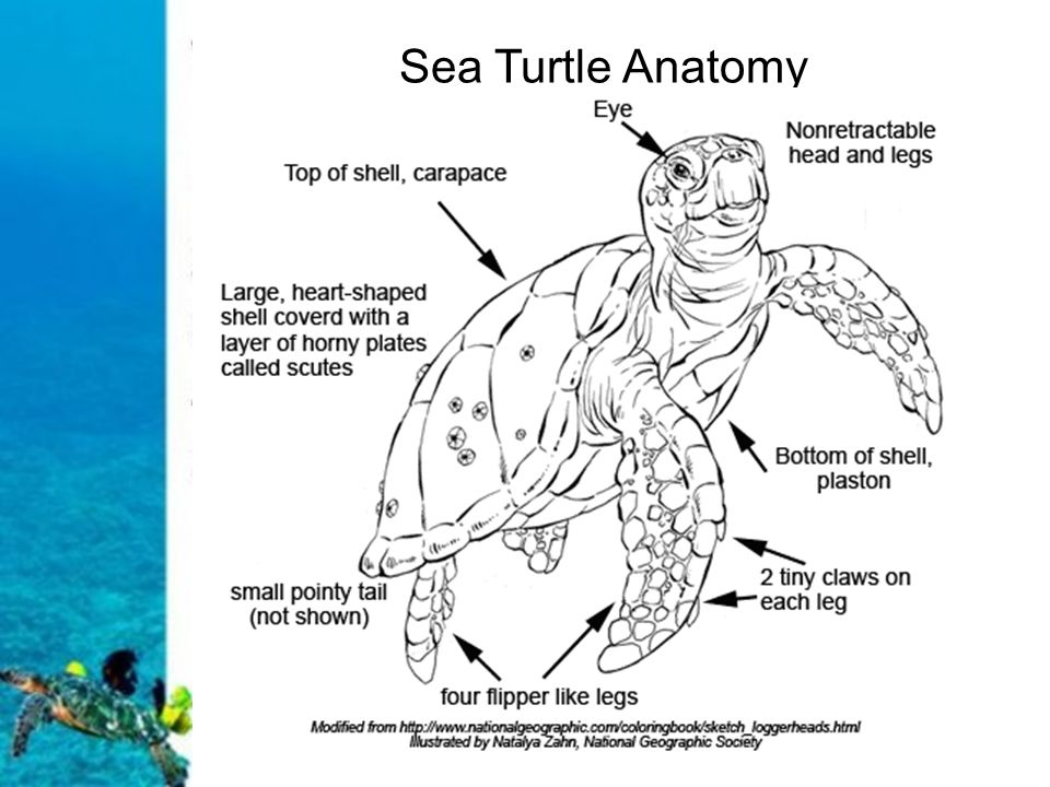 diagram turtle s head 2002 ford xr6 do now 2 create a venn comparing contrasting sea turtles 4 anatomy