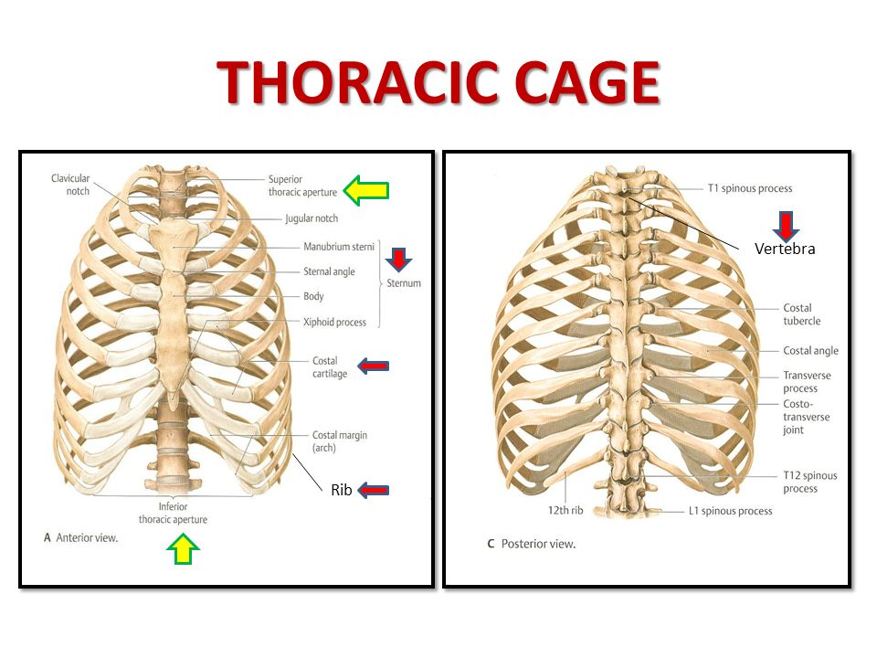 diagram of rib cage and muscles 7 wire plug involved in respiration ppt video online download 3 thoracic vertebra