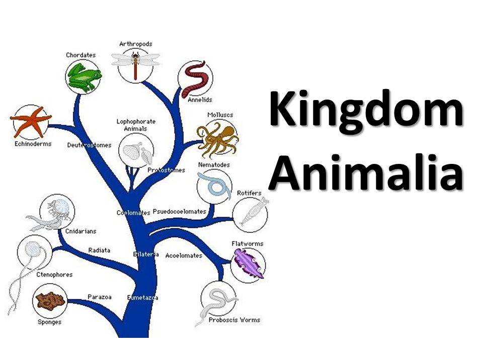 eukaryotic animal cell diagram air compressor pressure switch wiring kingdom animalia. - ppt video online download