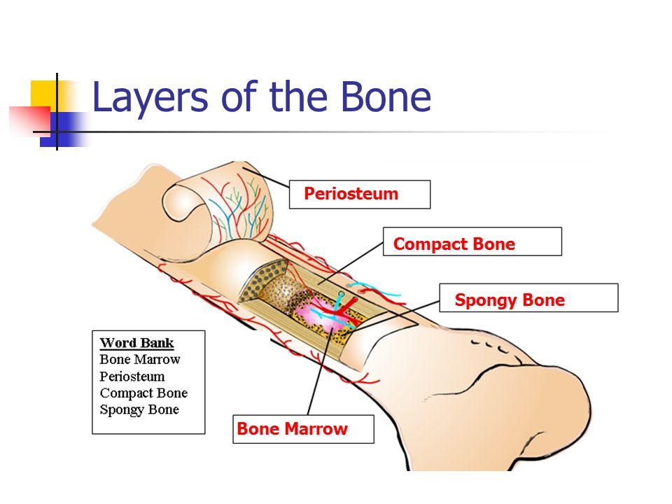 amazon rainforest layers diagram avital 4113 remote start wiring bone today diagrams option